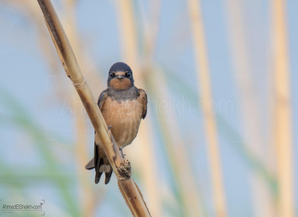 Barn Swallow عصفور الجنة