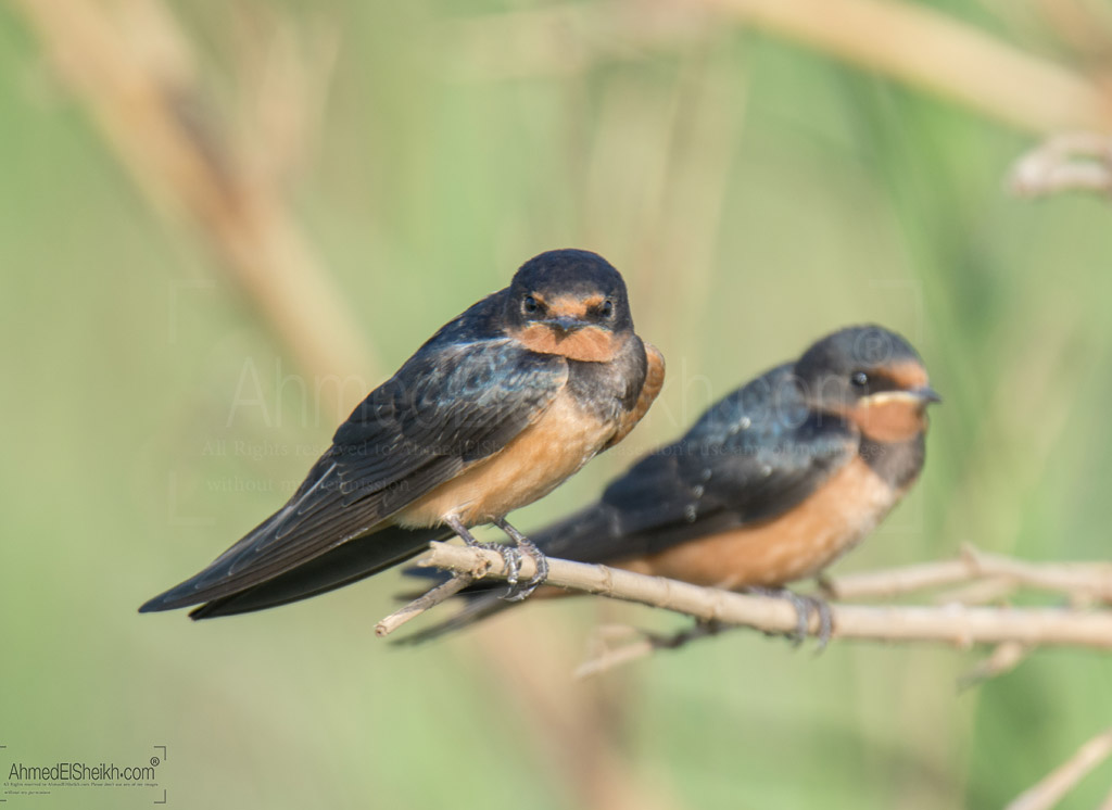 Barn Swallow Couple زوج من عصافير الجنة