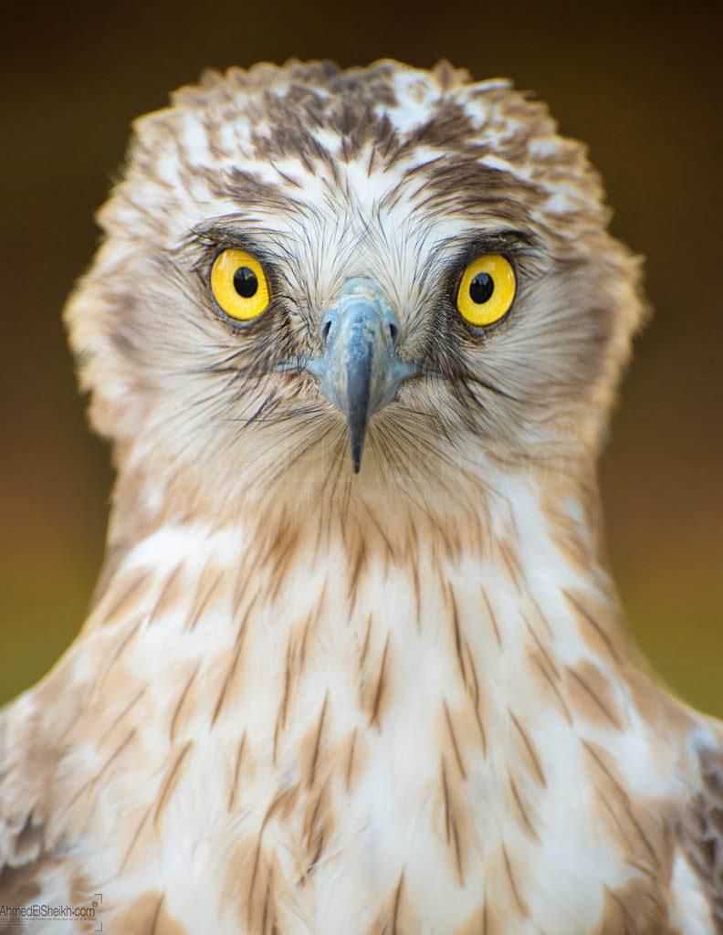 Short toed snake Eagle عقاب الآفاعي قصير الاصابع
