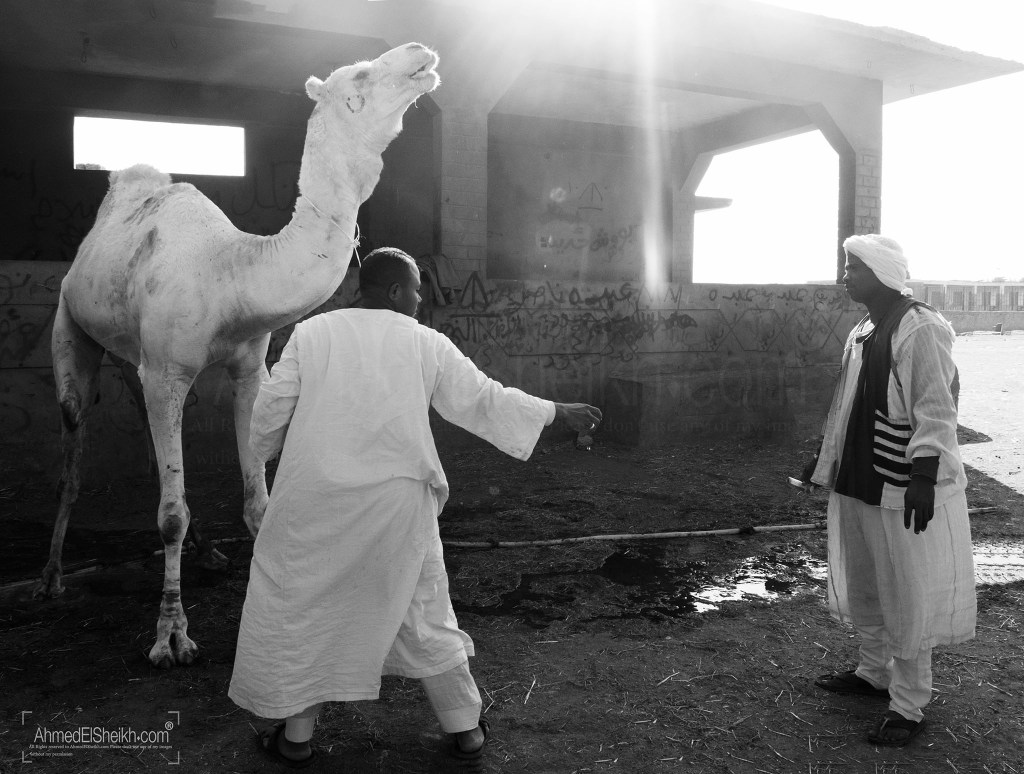 two Sellers in Camel Market giving medicine to the Camel