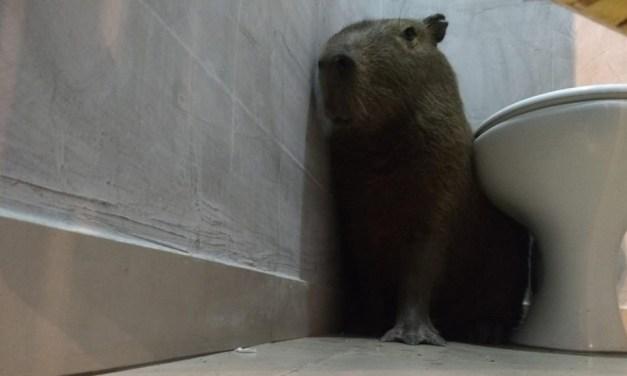 Funcionária se assusta ao encontrar capivara no banheiro de lanchonete: 'Achei que fosse lobisomem'