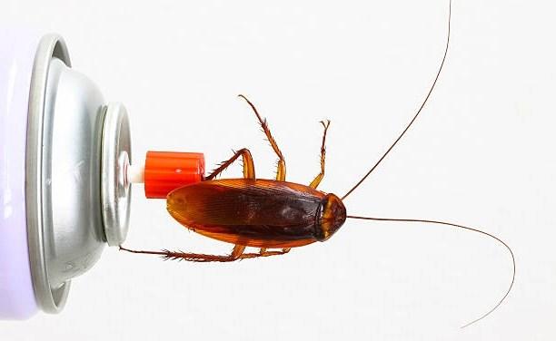 Baratas estão se tornando resistentes a inseticidas, diz estudo