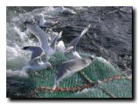 albatros-gaviotas-17066