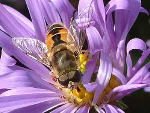 Zweefvlieg: Eristalis arbustorum (mannetje) op Aster frikartii (foto: Albert de Wilde).