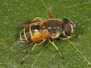 Eristalis lineata, vrouwtje (foto: Albert de Wilde).