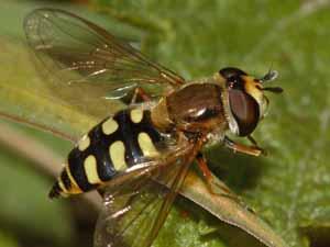 Vrouwtje van de Terrasjes-kommazweefvlieg (Eupeodes corollae), foto: Albert de Wilde.
