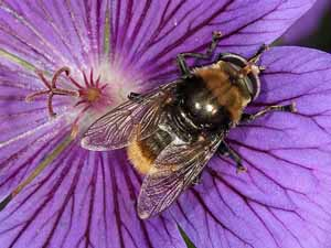 Grote narcisvlieg op geranium, Koudekerke, 21 mei 2009 (foto: Albert de Wilde).