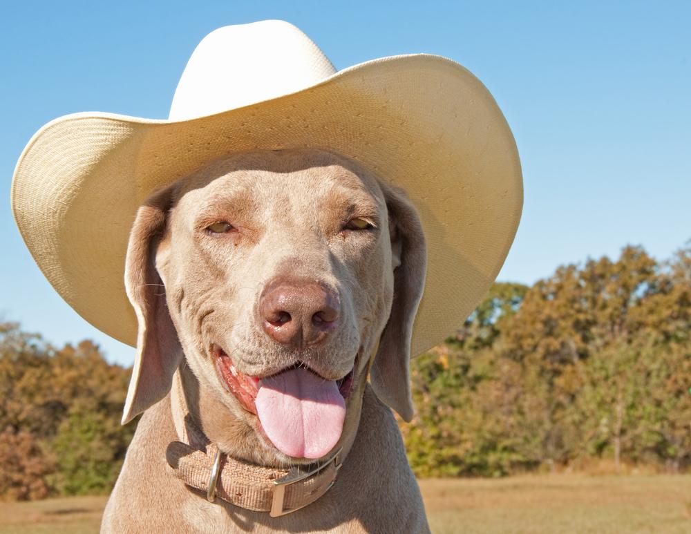 Indie Cowboy Dog
