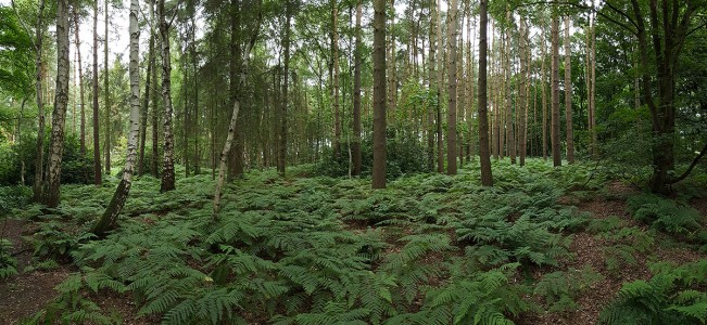 Samsung S6 - Woodland in Cheshire - Panoramic image