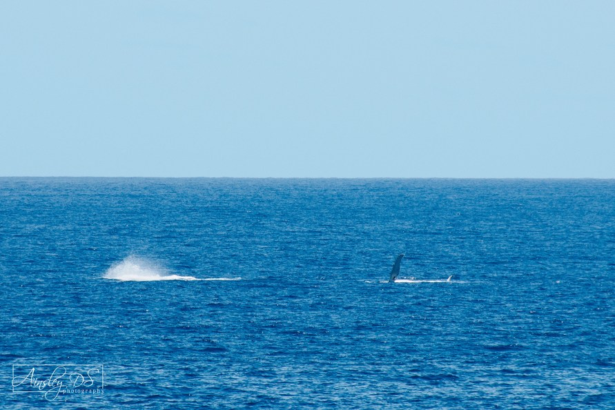 Whale watching off the coast of Niue