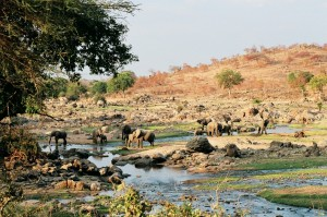 Great Ruaha River - Elephants