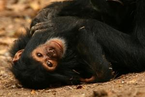 Chimpanzee in Gombe Stream National Park