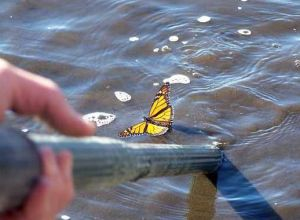 A monarch butterfly stuck in the water was also rescued