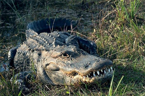 florida everglades swamp alligator