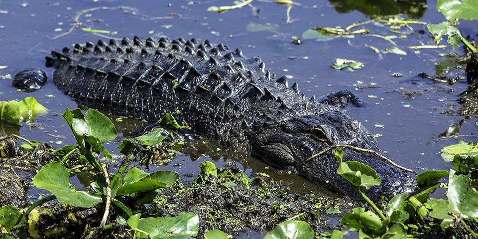 everglades alligators 02