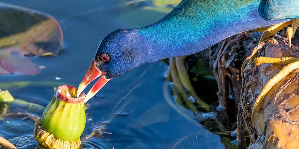 everglades birds 03