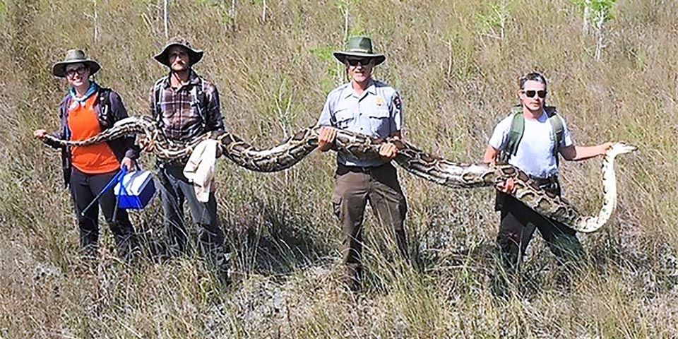 how problematic are burmese-pythons to the everglades