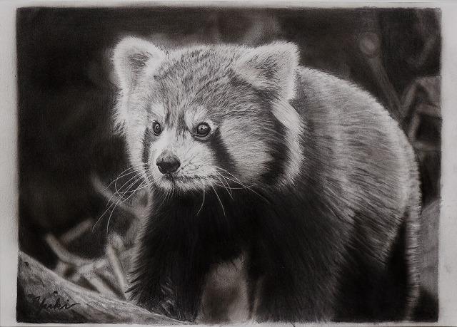 鉛筆画『レッサーパンダ』