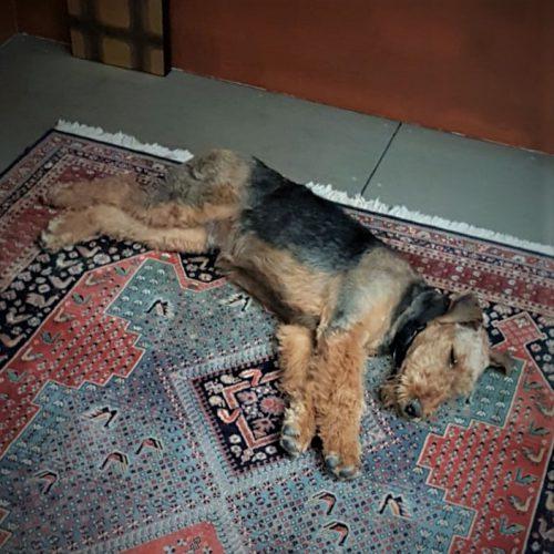 Nach langem Spaziergang im Grunewald braucht ZITO einmal Ruhe.