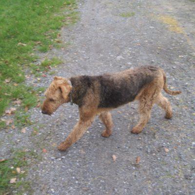 Wie ein einsamer Wolf, Airedale-terrier Queen-Mary v.d.Seeworth.