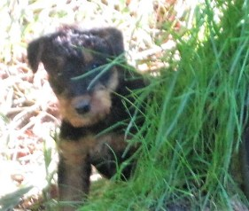 Airedale-Terrier sind so harmlos!