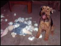 Airedale with diemboweled stuffed rabbit
