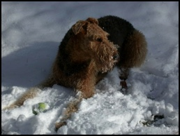 Airedale playing in the snow