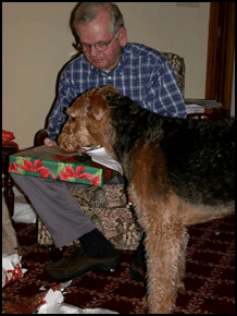 Adopted Airedale opening a Christmas gift