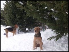 Airedales in the snow