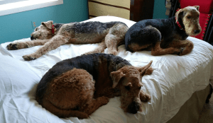 Buster Airedale lounging with foster siblings