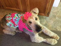 Angel Airedale with flower in her har