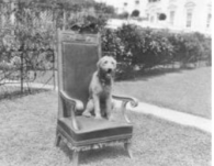 Photo of Laddie Boy, President Harding's Airedale Terrier