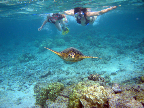 Snorkelers_with_sea_turtle_(Kahaluu_Bay)