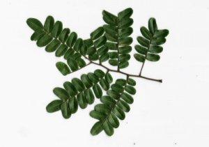 Pernambuco leaf
