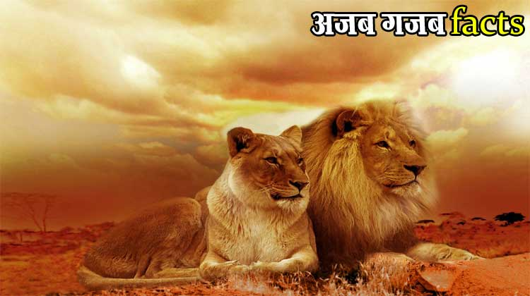 interesting facts about lions in hindi