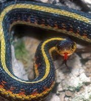 Garter Snake mating in Hindi