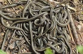Mass gathering of Garter snakes