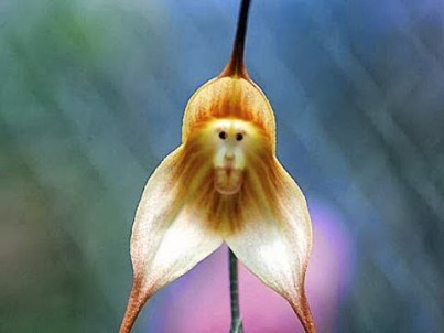 Monkey Face Orchid, Hindi, Information, Jankari, Amazing, Adbhut, Look Like Monkey,