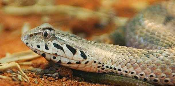 Tiger Snake, Hindi, Information, Jankari, History,