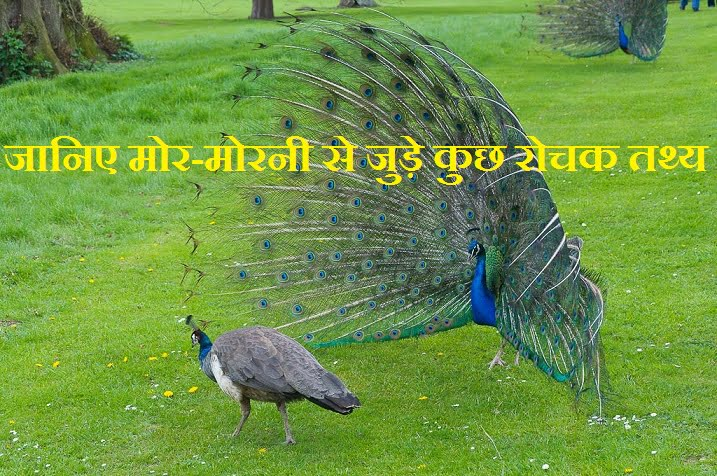 Interesting Facts About Peacock, Peahen, Hindi, Rochak Jankari,