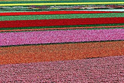mar de tulipas