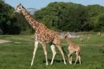 girafa filhote