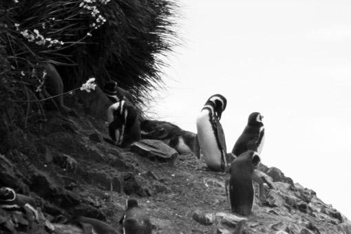 Pinguins na Pinguinera Ancud Chile