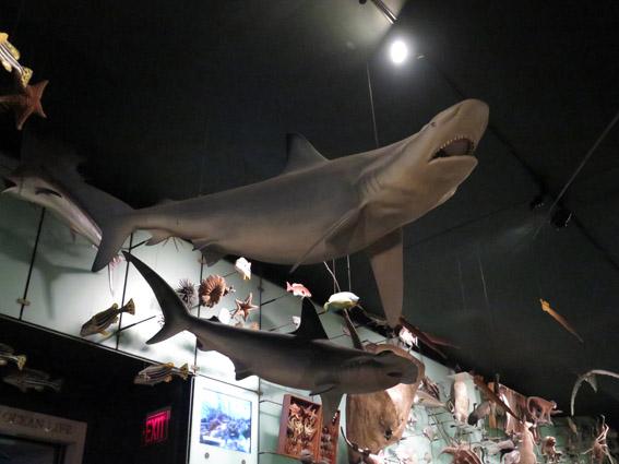As Laranjinhas em NY - Tubarão do Museu de História Natural