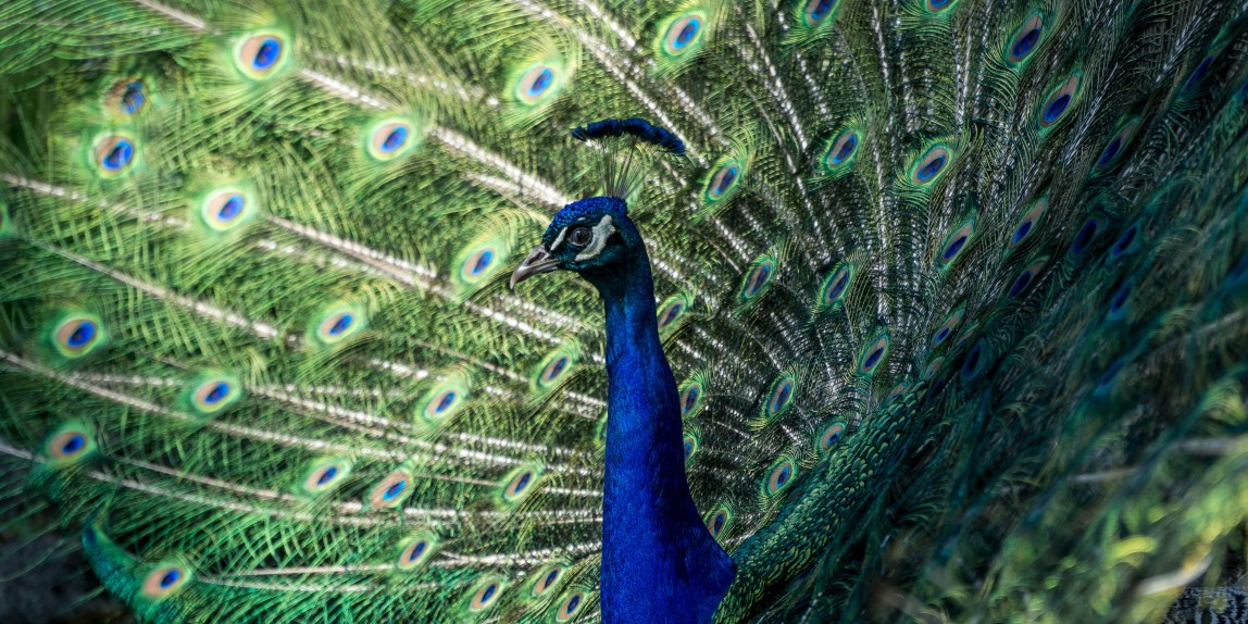Peacock with full fan tail from profile