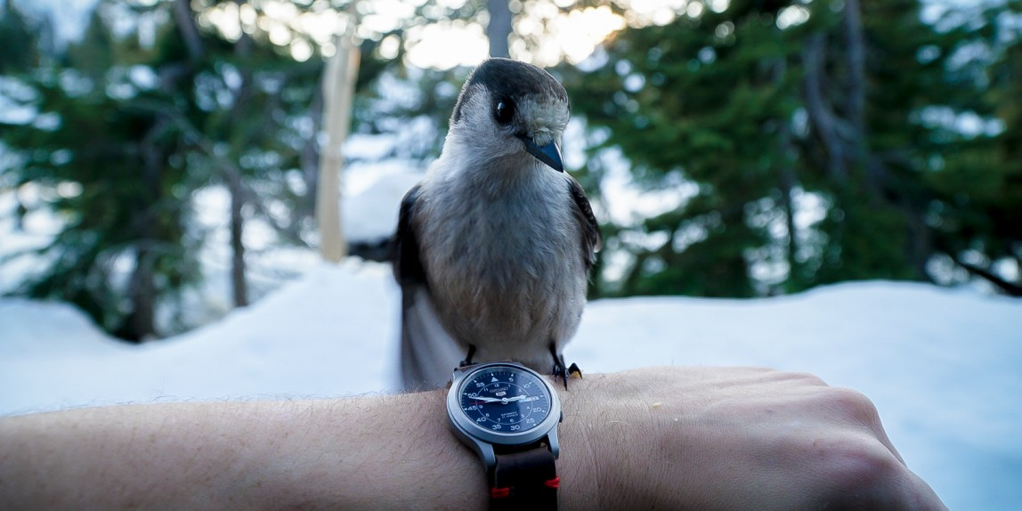 First Canada Jay wrist shot AJ took, blue seiko watch on wrist with leather strap and bird sitting on it looking straight at camera