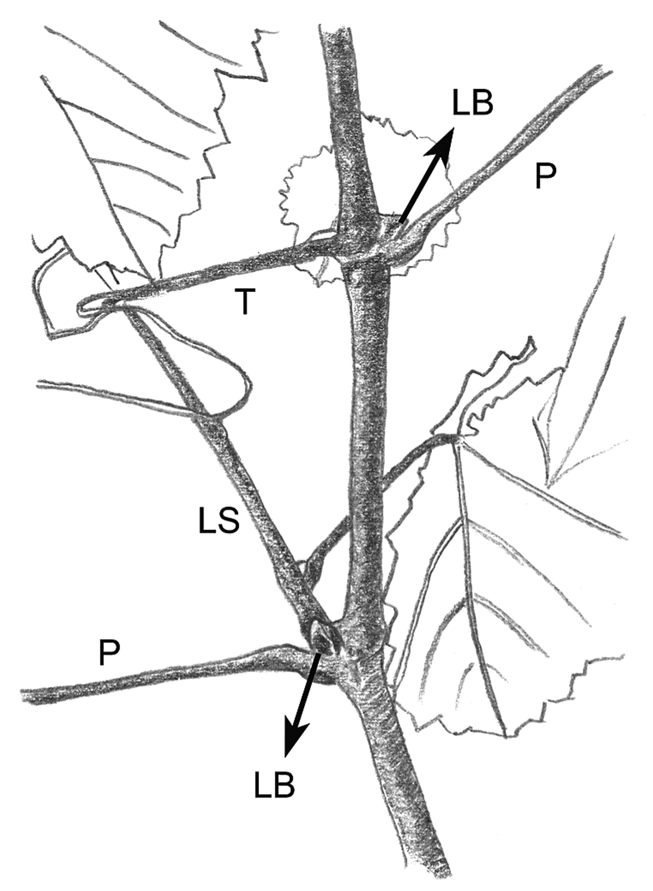 The Flowering Process Of Vitis Vinifera A Review