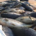 المثنى تصادر نصف طن من الاسماك النافقة قادمة من بابل