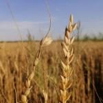 """الكاظمي يتابع والدليمي متفائل..كميات الحنطة """"تبشر"""" بخير."""