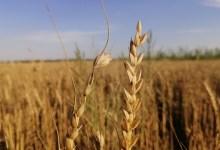 """صورة الكاظمي يتابع والدليمي متفائل..كميات الحنطة """"تبشر"""" بخير."""